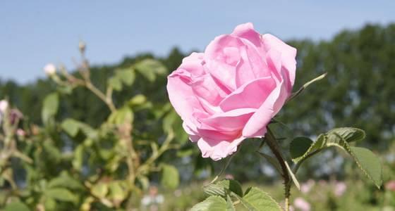 バラの女王ダマスクローズ|わかさ生活 世界の素材発見